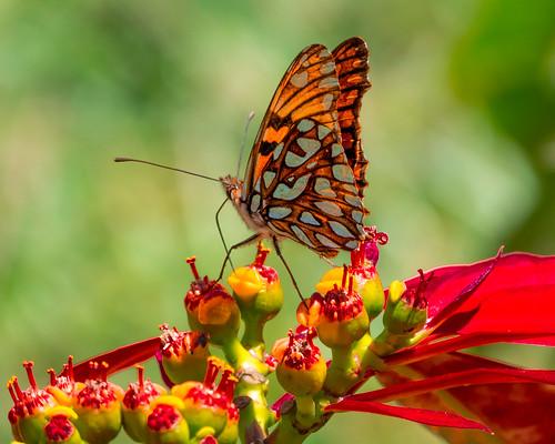 dahlia butterflies mariposa dalia nymphalidae dionejuno mariposasdecolombia silverspottedflambeau l1030455 butterfliesfromcolombia mariposaconmanchasplateadas heliconiajuno