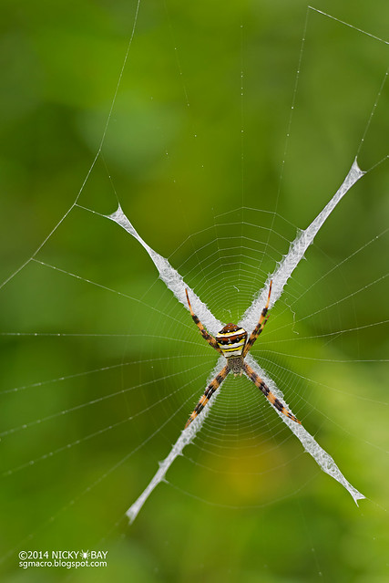 St Andrew's cross spider (Argiope sp.) - DSC_9345