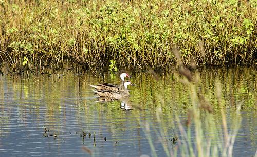 bird duck ecuador canoa anasbahamensis whitecheekedpintail manabiprovince