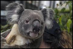 Koala in Brisbane Mall for G20 Reps-01=