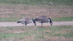 Canada Geese (one showing pale wing feathers)