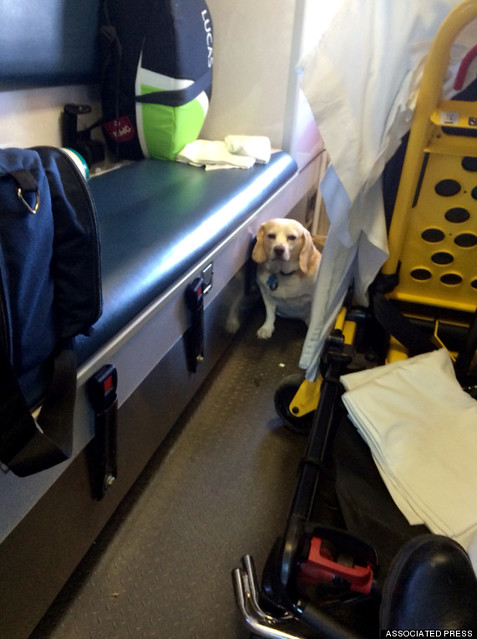 Ambulance Ride Dog