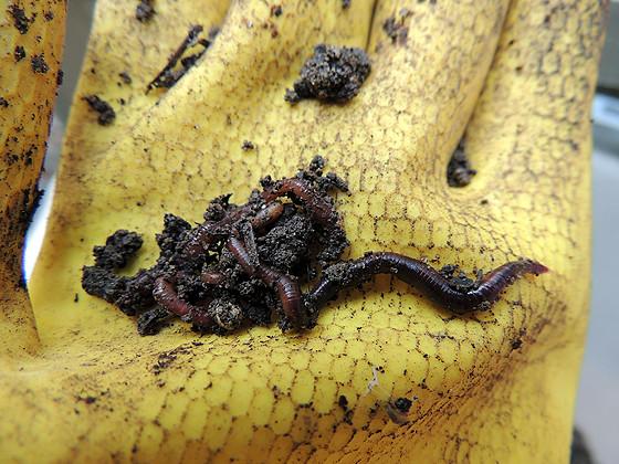 worm-composting-08