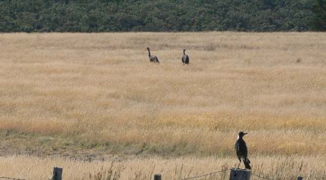 Two emus in a field and a magpie on a fence post