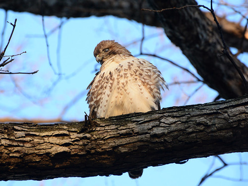 Juvenile Red-Tail - 4508