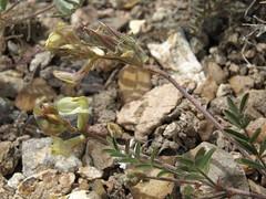 arcane milkvetch, Astragalus obscurus