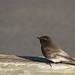 Black Phoebe by marj k