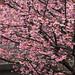 cherry blossom season in Yangminshan 2015 陽明山櫻花