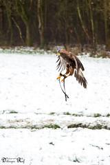 Shoot Harris' hawk