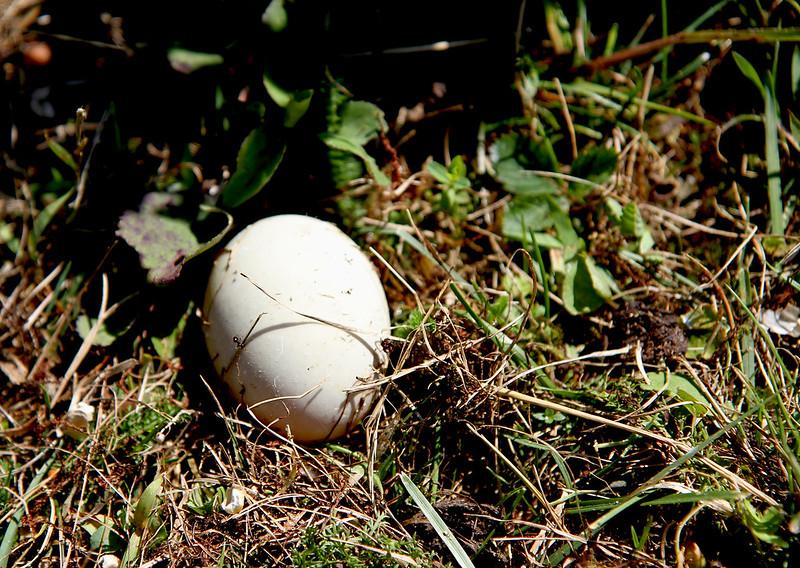 abandoned goose egg