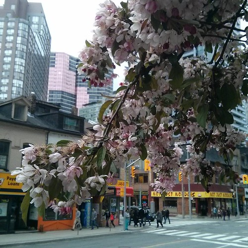 Sakura outside of Tim Hortons, 2 #toronto #yongestreet #wellesleystreet #timhortons #cherryblossom #sakura