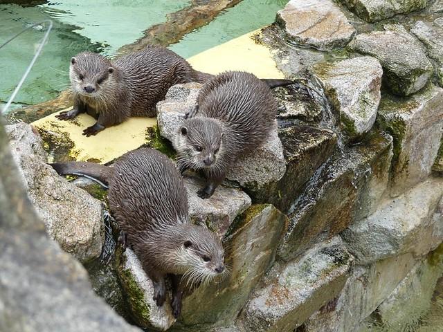 Kurzkrallenotter, Zoo Heidelberg