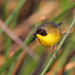 Black-polled Yellowthroat, Almoloya del Rio, México, Mexico por Terathopius