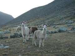 Lama Image