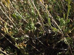 black sagebrush, Artemisia nova