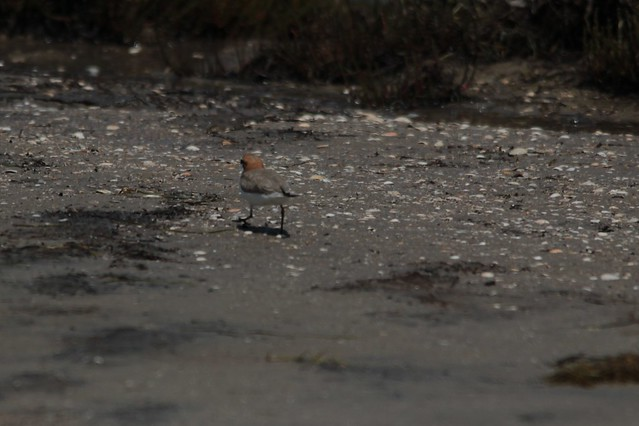 !red capped plover