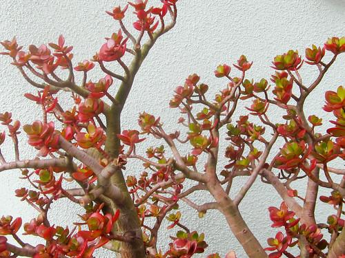 Red Succulent Plant