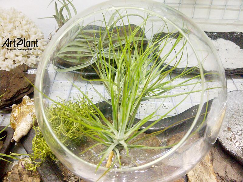 art plant | cay khong khi | tieu canh khong khi | terrarium | khong khi hong anh