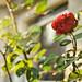 last-rose-of-summer-Hindeloopen