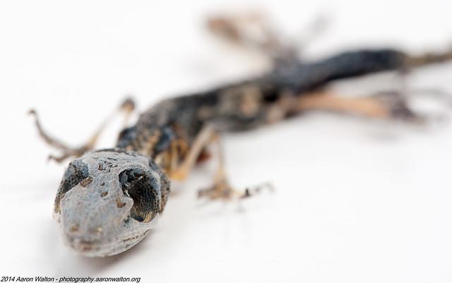 Desiccated Lizard