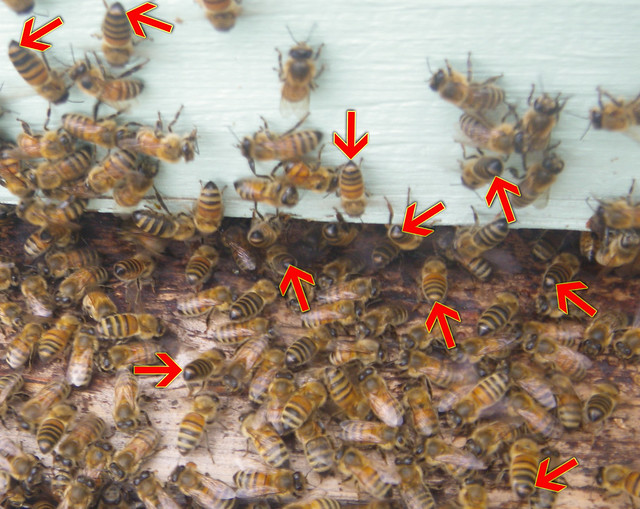 Bees exposing their nasonov gland