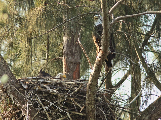 Bald Eagle pair at nest 03-20141030