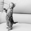 Tigger the Tiger Kitten hunting