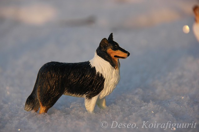 Tricolor Rough Collie
