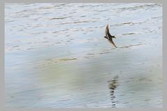 Hirondelle au ras de l'onde