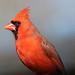 Northern Cardinal Male 122714 by maerlyn8