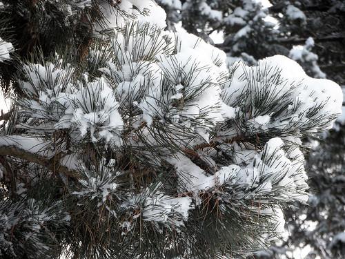 Kiefernzweig mit Schnee