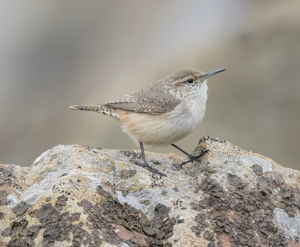 rock wren - Coyote Valley Open Space Preserve