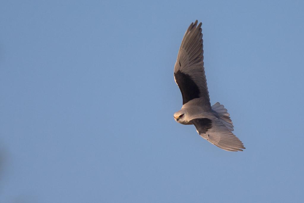 黑翅鳶-0426