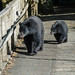 Black Bears (Tim Melling)