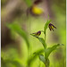 Cypripedium calceolus by Alessandro Laporta Photographer