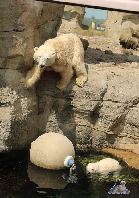 Eisbär Lili im Zoo am Meer Bremerhaven 14.05.2016 Teil 1 012