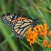 Monarch Butterfly on Butterfly Weed by Nature by Travis Bonovsky