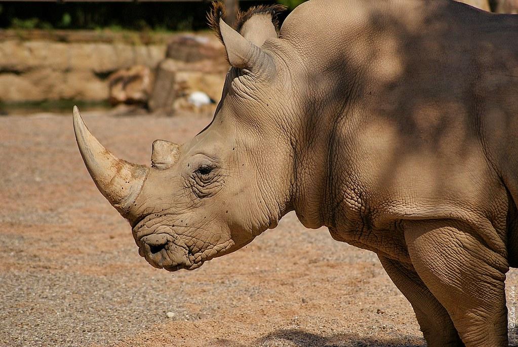 Bioparc Valencia_Sabana (5) Rinoceronte Blanco Sureño