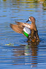 Blue-winged Teal - This way, please!