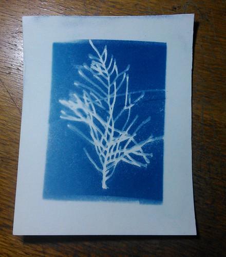 7. Cyanotypes - Cypress