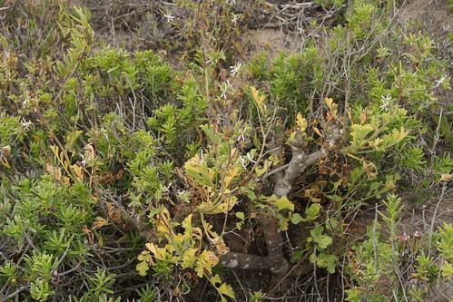 Pelargonium carnosum