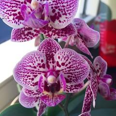 cattleya labiata(0.0), cattleya trianae(0.0), flower(1.0), purple(1.0), orchid family(1.0), phalaenopsis equestris(1.0), flora(1.0), pink(1.0), petal(1.0),