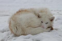 arctic fox, animal, snow, mammal, fauna, wildlife,