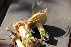 IMG_0987-Slippery jack mushrooms (Suillus luteus)