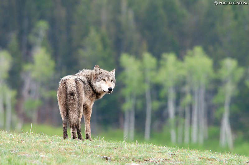 Lupo grigio - Grey Wolf (Canis lupus)