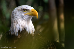 The Observant Eagle - Nikon 1 V3 & 1Nikkor 70-300mm CX