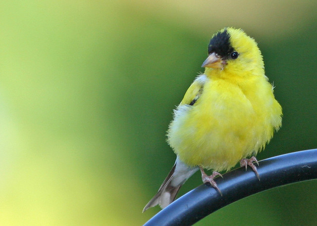 GoldFinch 20_2667