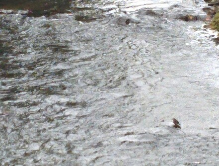 Eurasian Dipper in Maynooth