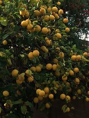Lemon tree, 2014