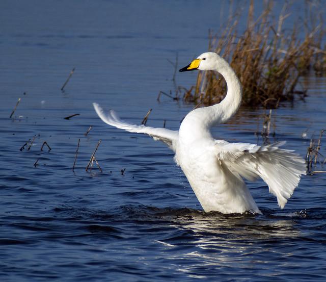 whooper swan 433 (40)